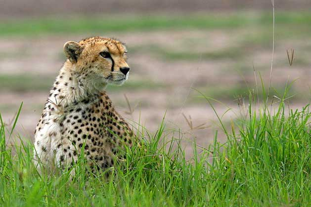 gepard cheetah