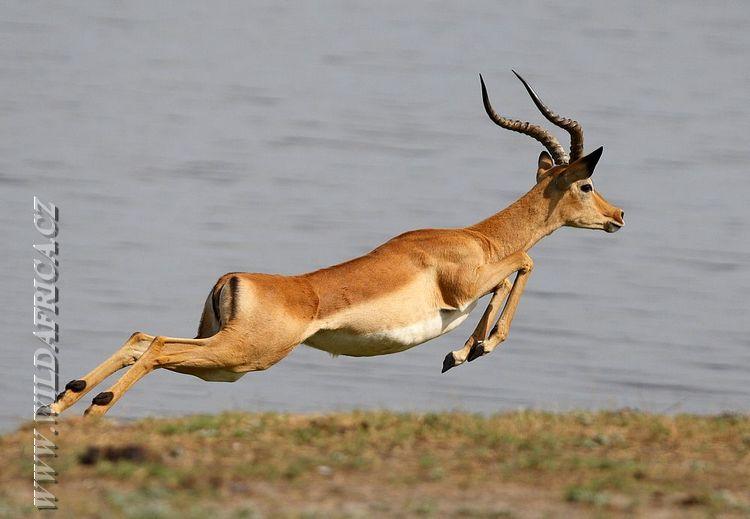 impala animal jumping - 650×438